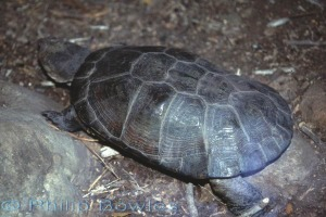 A delicate but beautiful pattern on this African Helmeted Turtle.