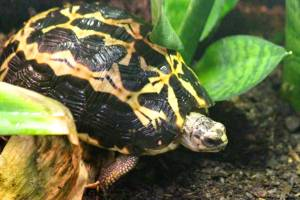 This spider tortoise has a stunningly bold pattern.