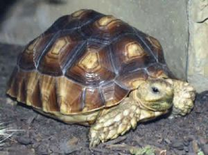 The sulcuta tortoise.